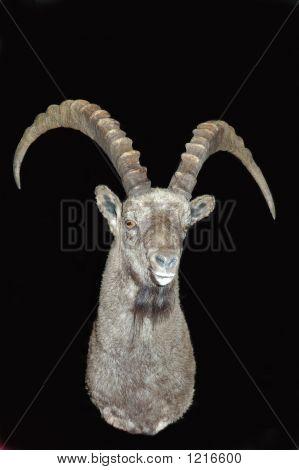 Ibex On Black