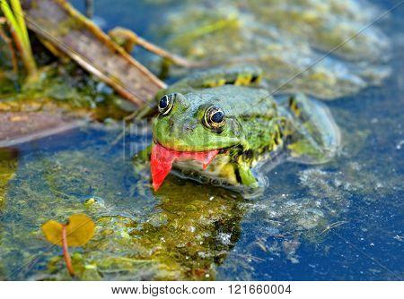 Marsh Frog In The Swamp