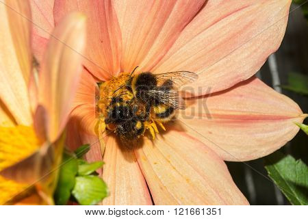 Two Bumblebee Is On Flower