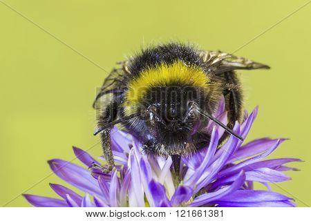 Bumblebee On Blue Flower