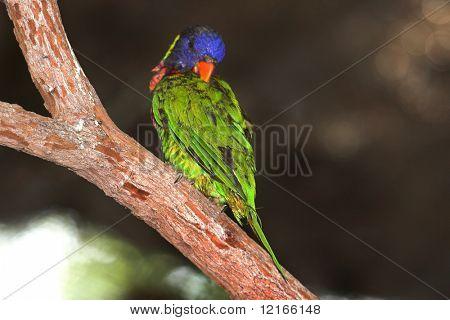parakeet preening