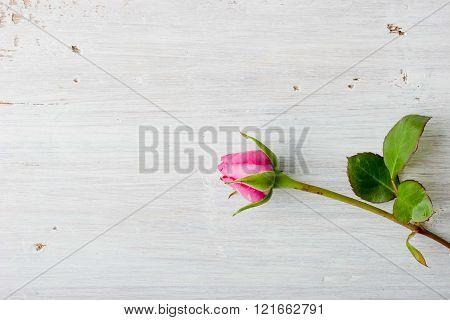 Rosebud elegant on the white background horizontal
