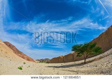 The stone desert in mountains of Eilat, Israel. Acacia tortilisi locust in the Black Canyon.  Photo taken with fisheye lens