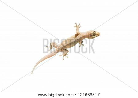 Closeup Lizard Isolated On White Background