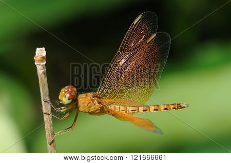 Golden Dragonfly resting on a dead branch