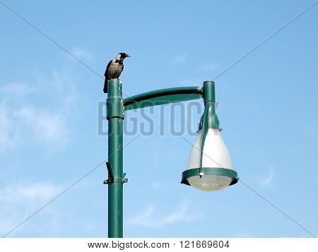 A crow sitting on a green lantern in Ramat Gan Park Israel