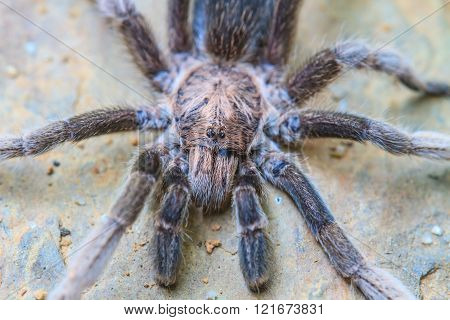 Close Up Tarantula On Ground