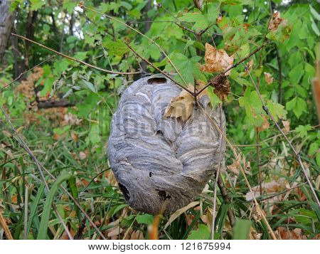 Nest Of Paper Wasps