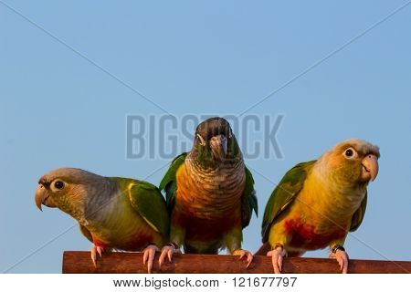 Three Parrot On The Branch