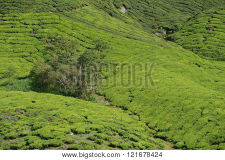 BOH Tea plantation in cameron highland, Pahang