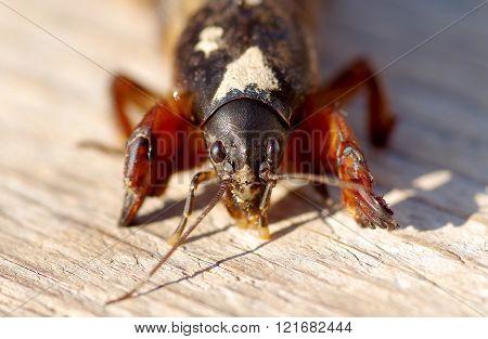 Mole Cricket Gryllotalpa gryllotalpa on wooden table