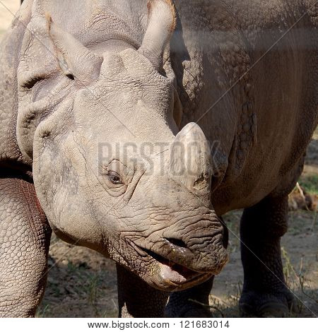 Gray rhinoceros in captivity in hot summer