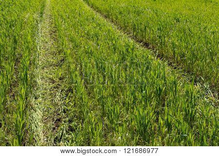Wheel Print On Wheat Field