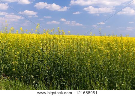 Rape field under blue cloudy sky