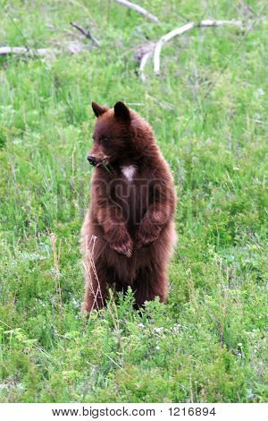 Yellowstone Bear1