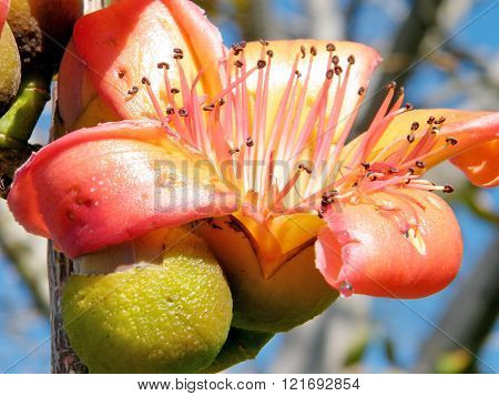 Big Orange flower of Bombax ceiba tree in Edith Wolfson Park in Ramat Gan Israel
