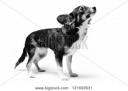 photo of toy terrier dog standing and looking up isolated on white background. black and white photo