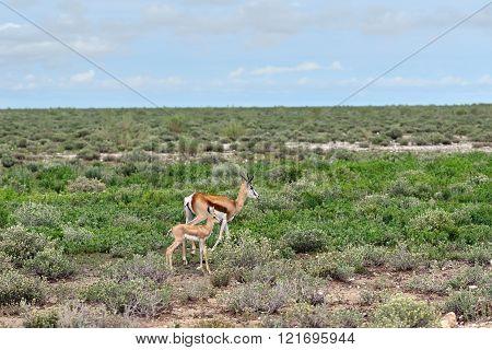 Springbok Antelope With Baby