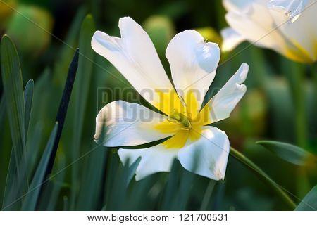 Dismissed Tulip