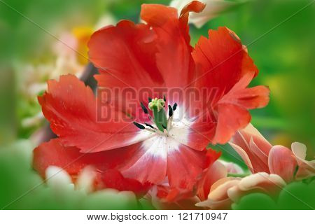 Dismissed Red Tulip