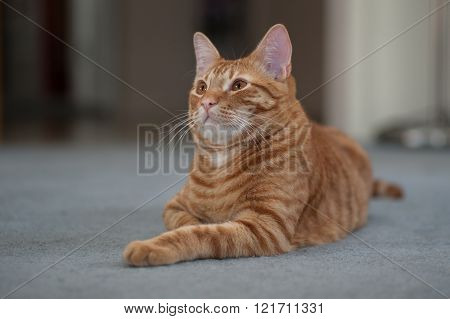 Orange cat lying down facing left