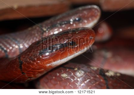 racer or rat snake, harmless slender body