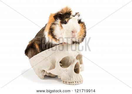Guinea Pig On The Skull