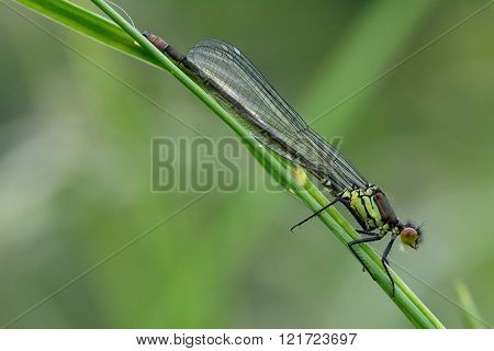 Immature red-eyed damselfly (Erythromma najas)