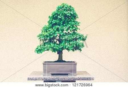 Japanese Hackberry bonzai tree with split toning retro filter