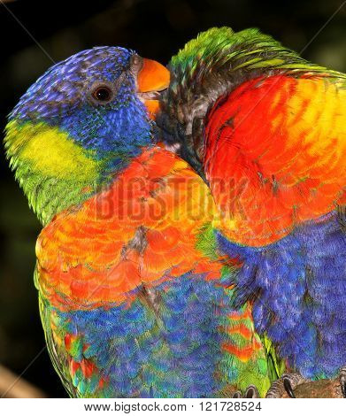 A pair of Rainbow Lorikeets grooming each other.