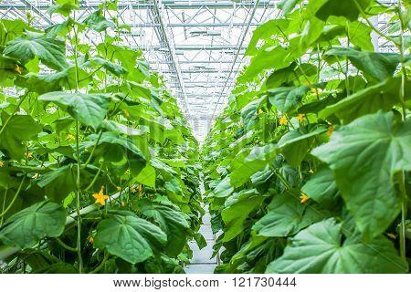 Cucumber plant row