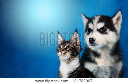Cat and dog, maine coon, siberian husky looks at left