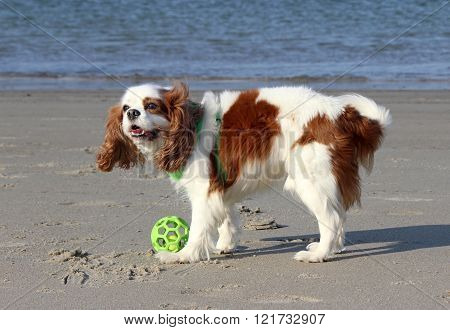 Playful Spaniel