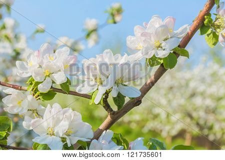 Flowering Branch Of Apple Tree In The Spring Orchard