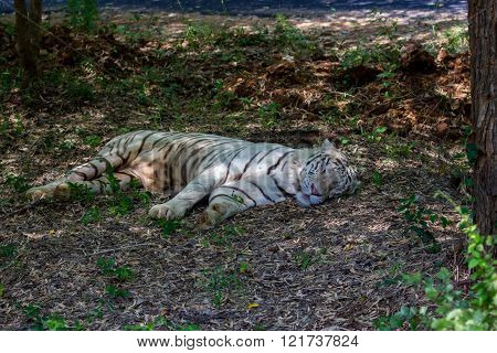 Tiger in Bannerghatta national park in India lying under a tree sleeping while sheltering from the midday sun.