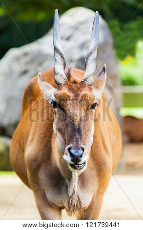 Eland Antelope Looks To The Camera