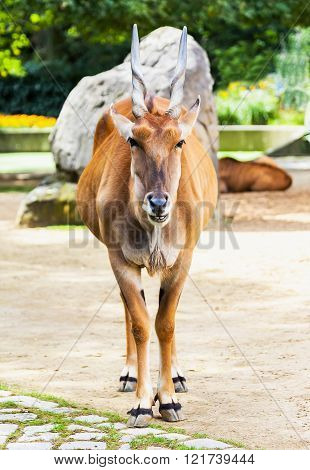 Eland Antelope Stand In An Animal Park