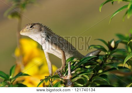 A Chameleon lizard hiding in a plant