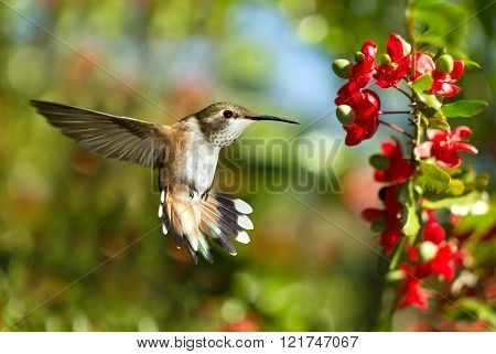 Hummingbird Over Green Background