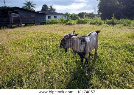 billy goat in the fields
