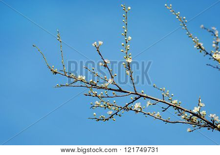 Blooming Spring Tree Branches