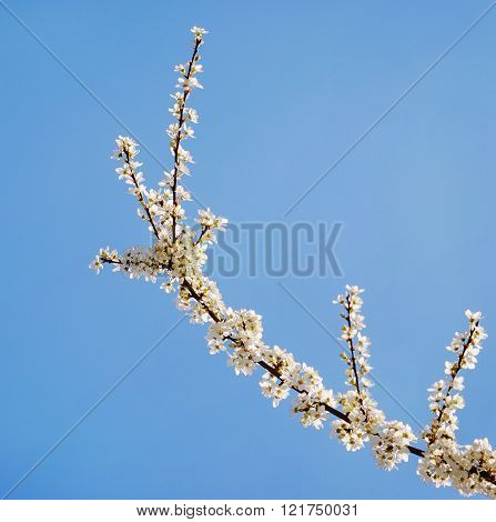 White Tree Flowers In Spring