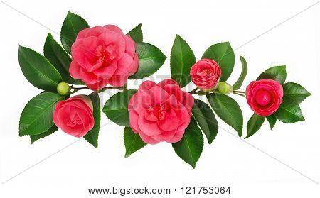 Postcard of beautiful roses