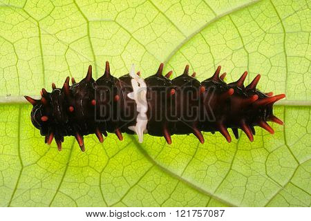 Pipevine Swallowtail Caterpillar on a green leaf