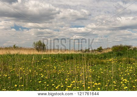 Meadow With Yellow Dandelions.