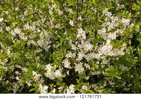 Inflorescence of cherry on branches with leaves close-up
