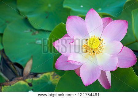 Lotus Nelumbo nucifera Gaertn