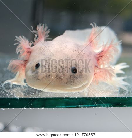 White Axolotl (Ambystoma mexicanum)