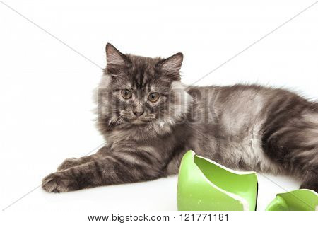 Cute gray cat feeling guilty after breaking a mug