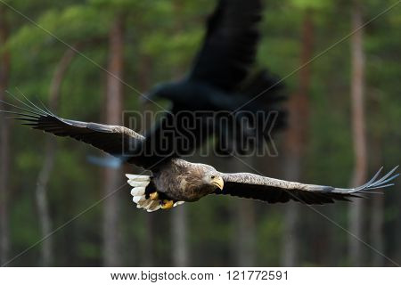 White-tailed eagle flying, raven in the foreground. ** Note: Visible grain at 100%, best at smaller sizes